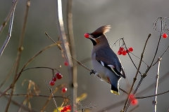 waxwing1_filtered