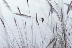 kingsfisher