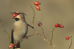 waxwing_filtered