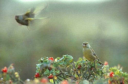 gronfink